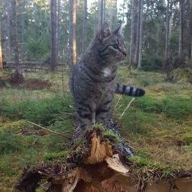 Jax första promenad i skogen bakom Grufstugan. Alla sinnen på helspänn.