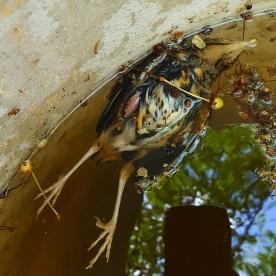 Död fågel i regntunna.